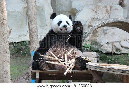 Giant Panda, Named Chuang Chuang, In Chiangmai Zoo, Thailand