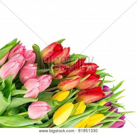 Fresh Tulips Over White Background. Pring Flowers