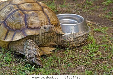 old tortoise with bowl