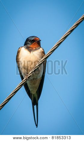 Swallow Sitting On Wires