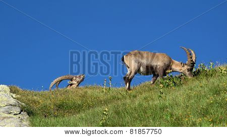 Two Alpine Ibex Grazing