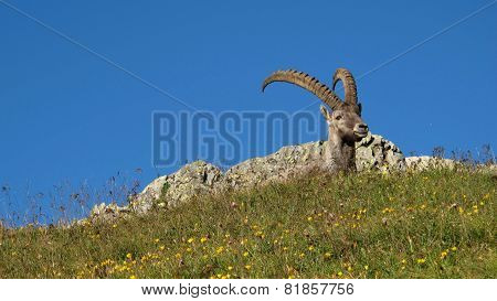 Male Alpine Ibex Resting