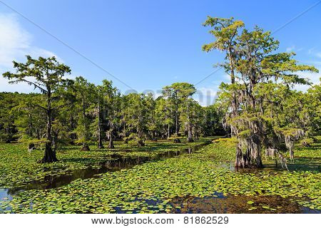 Cypress trees at Caddo Lake Texas