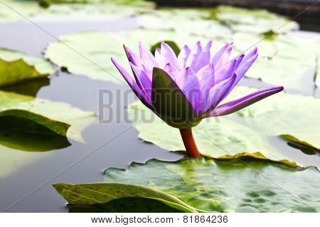 Waterlily Or Lotus Flower In Pond.