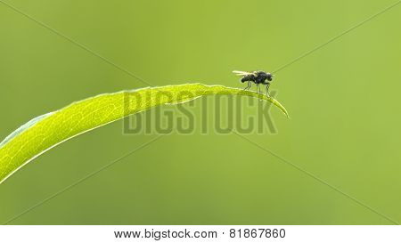 Fly On Leaf With Green Background