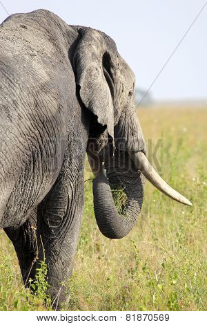 African Elephant From Behind