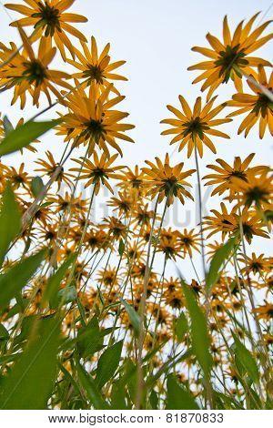 Echinacea, Yellow Orange Flower
