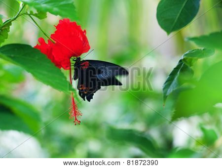 Black swallowtail on a red flower