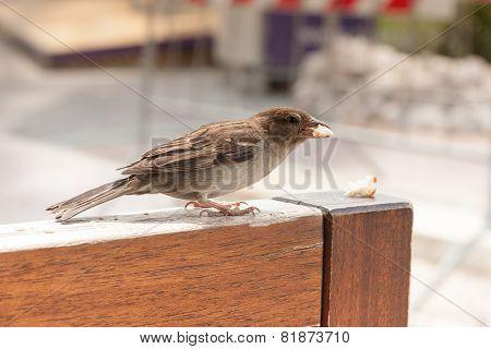 Little Brown Sparrow