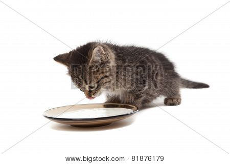 Kitten With Plate Of Sour Cream