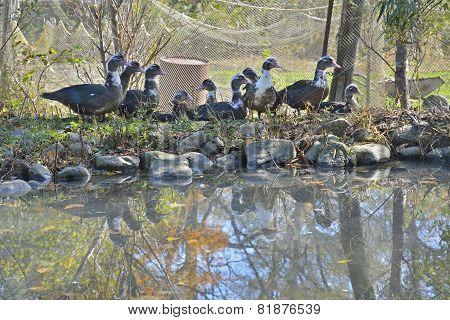 Musk Ducks