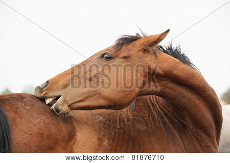 Brown Funny Horse Scratching Itself Portrait