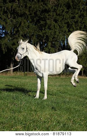 Beautiful White Arabian Stallion Kicking
