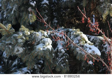 Fresh white winter Snow on pine or spruce tree with red berries