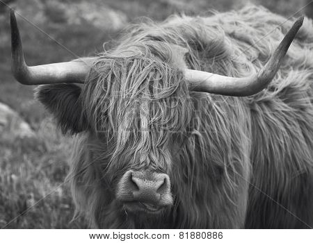 Scottish Cow In Lewis Isle. Hebrides. Uk