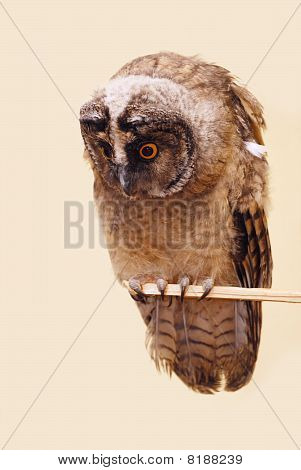 Young Long-eared Owl