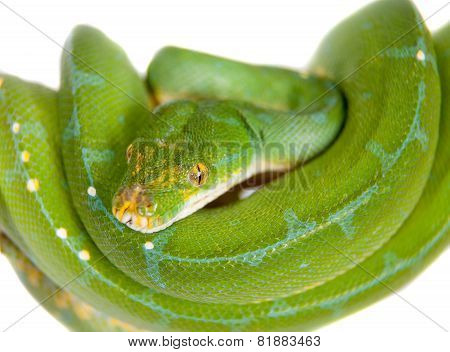 Green tree python, chondros isolated on  white
