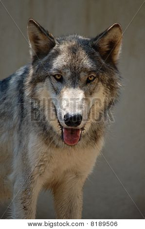 Wolf looking at you