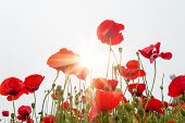 ������, ������: Field With A Red Poppy Flowers In Morning Sunlight