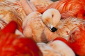 image of pink flamingos  - The head of a flamingo in a group of flamingos - JPG
