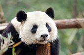 stock photo of panda  - A resting Giant Panda  - JPG