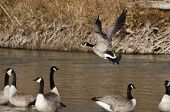 picture of canada goose  - Canada Goose Taking Off From a River - JPG
