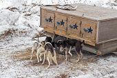 stock photo of sled-dog  - Dog Sled Dogs Gather Around Dog Box  - JPG
