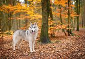 stock photo of husky sled dog breeds  - portrait of Siberian Husky dog in Autumn forest