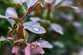 stock photo of barberry  - Barberry branch with drops after rain in the garden - JPG