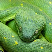 stock photo of green snake  - Head of green snake Atheris chlorechis in closeup - JPG