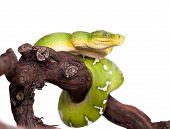 image of green tree python  - Emerald tree boa - JPG