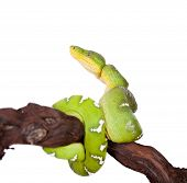 image of green tree python  - Emerald tree boa, Corallus caninus, isolated on white background ** Note: Shallow depth of field - JPG