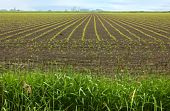 image of loamy  - Rows of young corn plants create a striking pattern in a rural field - JPG