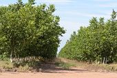 pic of walnut-tree  - healthy young walnut trees on a rural plantation - JPG