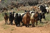 picture of herd  - A herd of goats in a pasture - JPG