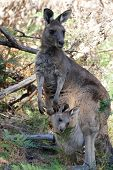 stock photo of kangaroo  - Young kangaroo hiding in her mothers pouch  - JPG