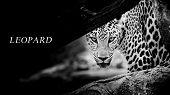 foto of leopard  - Leopard portrait animal wildlife black color background - JPG