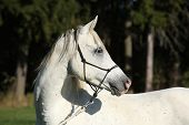 picture of arabian horse  - Portrait of amazing white stallion of arabian horse