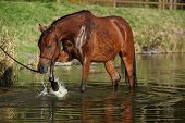 pic of arabian horse  - Amazing brown arabian horse playing in the water