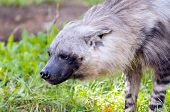 picture of hyenas  - A closeup of the head of a hyena - JPG