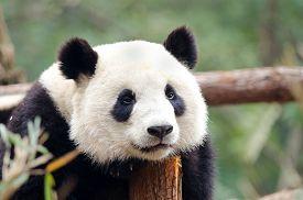 stock photo of panda  - A resting Giant Panda  - JPG