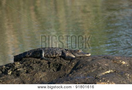 American Alligator Warming On Rock