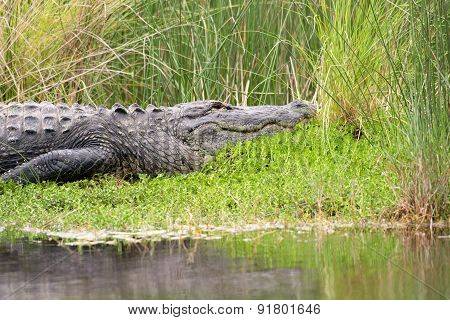 Large American Alligator