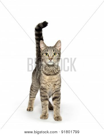 Adult Tabby Cat On White