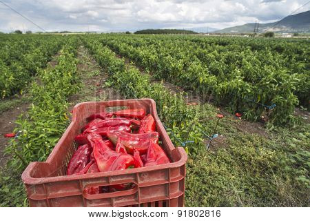 Crate With Peppers