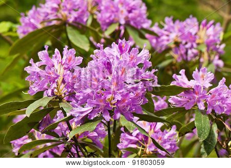 Flowering Rhododendrons