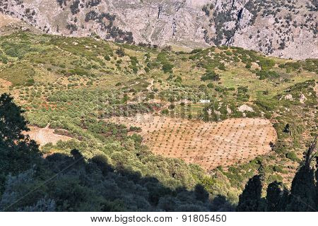 Olive Groves In Crete