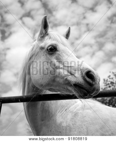 Beautiful white Arabian horse looking right