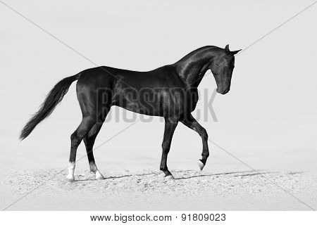 Black stallion in white background