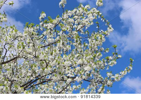 Blossoming tree of plum and blue sky
